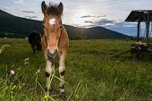 picture of colt  - Colt with a setting sun in the background - JPG