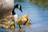 stock photo of baby goose  - Young Canada goose gosling and family at a lake - JPG
