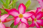 foto of desert-rose  - Pink desert rose flowers blooming in garden - JPG