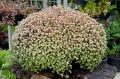 picture of climber plant  - Callisia Repens Turtle Vine or Inch Plant potted plant  - JPG