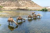 pic of dromedaries  - Dromedaries drinking at Wadi Darbat with cliffs Taqah  - JPG