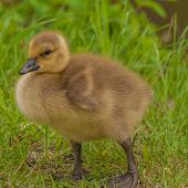 foto of baby goose  - Canada Goose Gosling sitting in the grass.