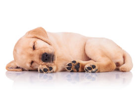 picture of little puppy  - side view of an adorable little labrador retriever puppy dog showing its paws while sleeping on white background - JPG