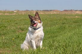 foto of laika  - Portrait of a cute Siberian husky  - JPG