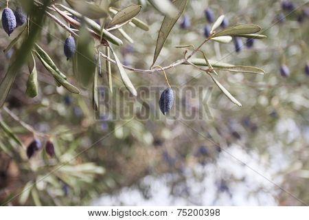 Evergreen Olive Tree Branches With Ripening Fruits