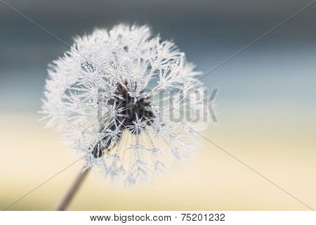 Dandelion seeds with raindrops