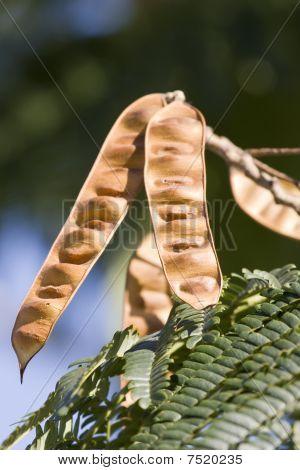 Carob Fruit Pod