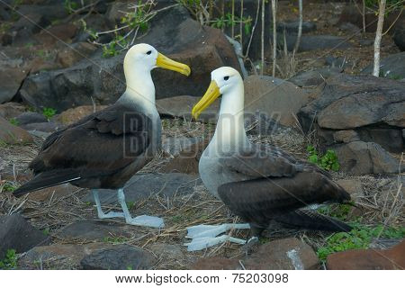Two Waved Albatrosses Mating in Galapagos Islands