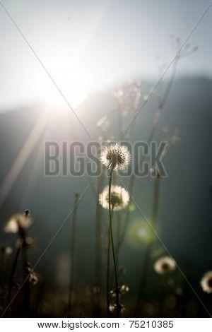 Dandelion Clocks Backlit By A Hot Sun