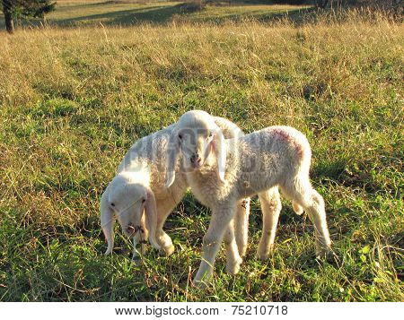 Two Little Lambs With Soft, White Fur
