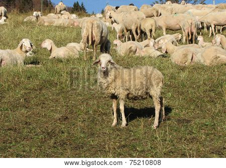 Sheep Lamb Along With The Other Large Sheep Flock