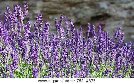 lavender flowers on mountainside