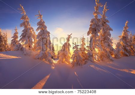 Christmas landscape. Fabulous winter forest with snow-covered trees. Beautiful light of the setting sun