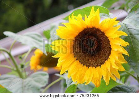 The Flower Of Sunflower