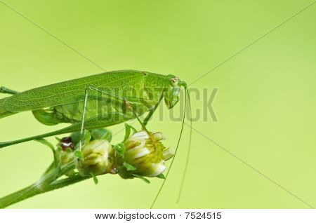 small green katydid in the urban parks