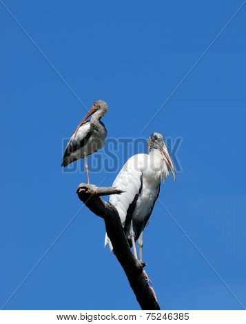 Ibis and Wood Stork Birds