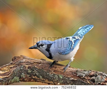 Fall Blue Jay