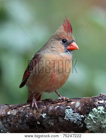 Perching Female Cardinal