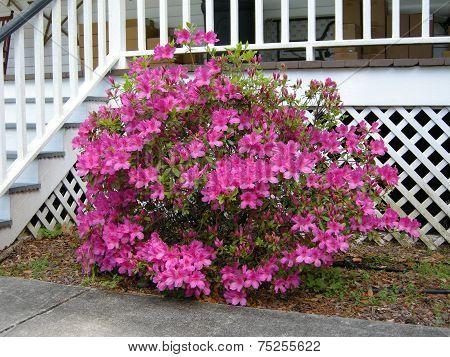 Azalea (Gen; Rhododendron )