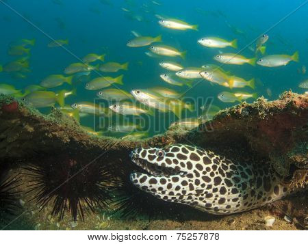 Honeycomb Moray Eel and Snapper fish