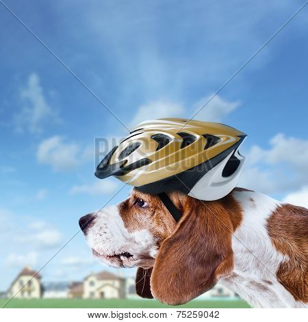 Beagle In  Helmet