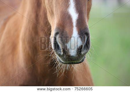 Chestnut Foal Muzzle Close Up