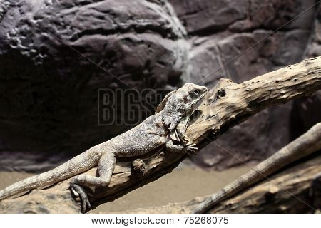 Frill-necked Lizard On Branch Tree