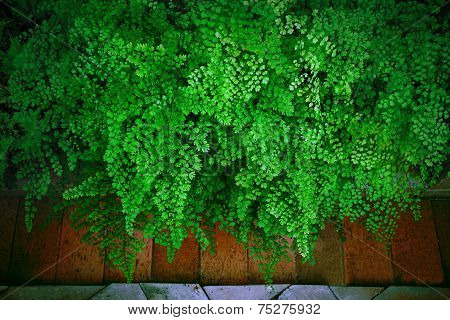 Close Up Green Leaves Of Black Maidenhair Fern Leaves  (adiantum Capillus-veneris) On Natural Stone