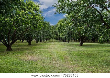 Mayongchid Maprang Marian Plum Tree And Plum Mango
