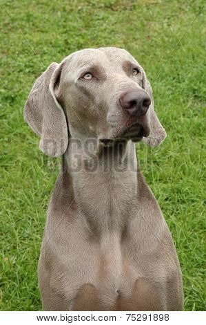 Portrait Of Weimaraner Short-haired