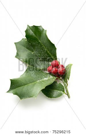 Christmas Holly, with bright red berries covered in snow