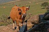 stock photo of trough  - picture of a cow drinking from a drinking trough - JPG