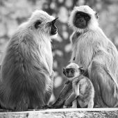 stock photo of hanuman  - Gray langurs with babies sitting at the temple - JPG