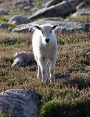 stock photo of baby goat  - A mountain goat kid stares atop Mount Evans  - JPG