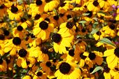 picture of black-eyed susans  - Wonderful Black-eyed susans blossoms or Rudbeckia fulgida