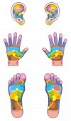 stock photo of reflexology  - Reflexology zones  - JPG