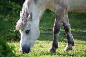 Постер, плакат: Cute Shetland Pony At The Pasture
