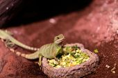 foto of terrarium  - The lizard eating vegetables at a terrarium