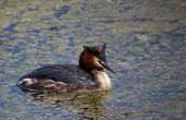 stock photo of great crested grebe  - Great Crested Grebe in Vitoria Alava Spain - JPG