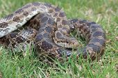 image of harmless snakes  - This is a photograph of a Prairie Kingsnake in some grass - JPG