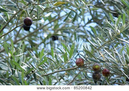 Black Olives on tree wtih soft focus background 4