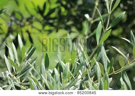 Olive Leaf Branch with soft focus background