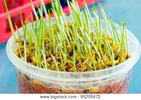 sprout of genetically modified wheat