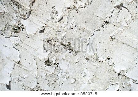 Birch-tree Texture