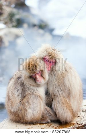 Snow Monkeys Japanese Macaques at onsen hot springs of Nagano, Japan
