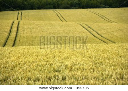 cornfield yelden village bedfordshire home counties england