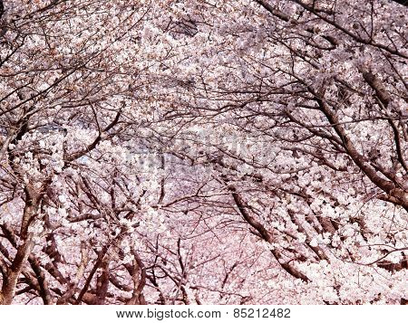 Cherry blossoms. Tunnel arch of blooming cherry trees.