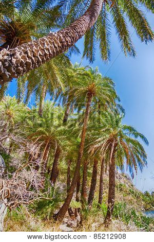 Palm trees on Crete island