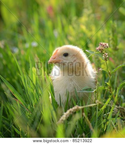 the little chicken sits on a grass and looks