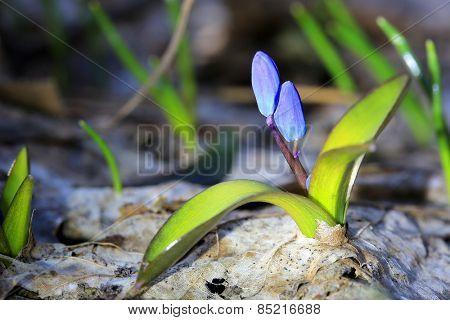 first spring flowers - Scilla Bifolia